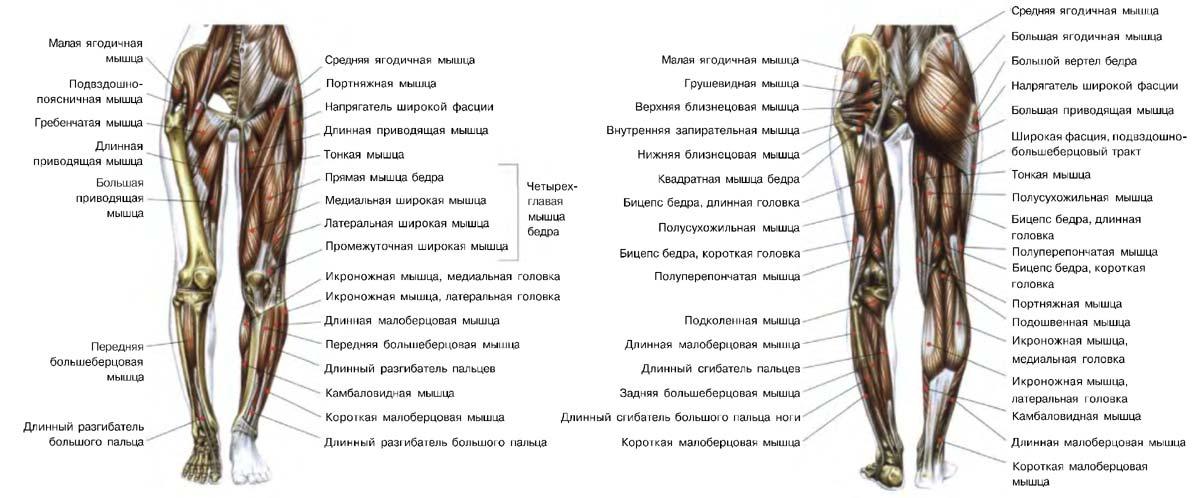 вдоль расположение мышц на ногах человека схема много разнообразных фото